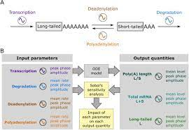 Critical role of deadenylation in regulating poly(A) rhythms and circadian  gene expression