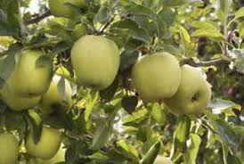 green apple fruit tree. granny smith apple trees bear flavorful green fruit. fruit tree d