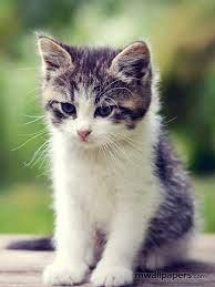 Cute Kitten Wallpaper HD - #518 #cat ...