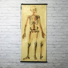 Human Skeleton Wall Chart Vintage 1940s Human Skeleton Anatomy Chart