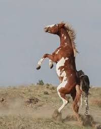 wild paint horses rearing.  Horses Chicoteague Pony Wild Horse Stallion Mustang Salt Water In Wild Paint Horses Rearing I