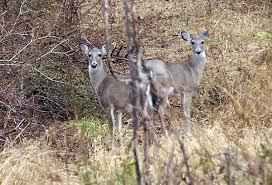Report: Thin Village Deer Herd   News   thepilot.com