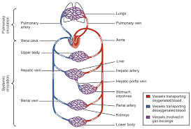 Human Blood Flow Chart Circulatory System Wikipedia