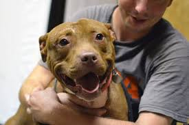 pitbull dog fights caught on tape. Wonderful Fights Museum Of Crime And Punishment Hosts U0027Dog Fighting The Voiceless Victimsu0027   HuffPost Pitbull Dog Fights Caught On Tape G