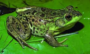 image of a frog. Modren Frog Unique Picture Of Frog The Frogs And Toads North America Adirondack Explorer Intended Image A F