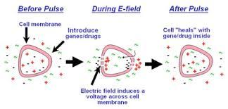 Therapeutics Electroporation Creative Biolabs