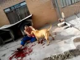 pitbull dog attacks man. Simple Man Throughout Pitbull Dog Attacks Man