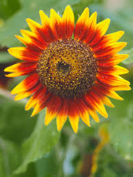 Sunflower Decoration For Kitchen How To Plant Sunflowers In Decorative Pots Hgtv