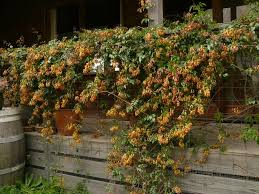 Garden Design Garden Ideas Creepers  Architecture  Pinterest Wall Climbing Plants Australia
