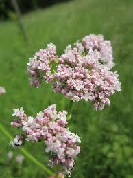 Valerian (herb) - Wikipedia