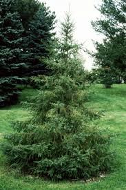 Black spruce | The Morton Arboretum