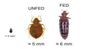 how bed bugs look