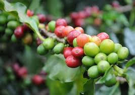 You might be surprised to know the same plant that grows your morning coffee beans is a popular, low maintenance houseplant! Growing Coffee Plant Indoors Coffea Arabica