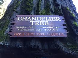 chandelier tree in california chandelier in house drive under redwood tree drive through tree in redwood forest