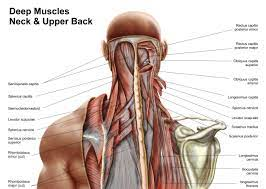 Cervical spine anatomy video the cervical spine has 7 stacked bones called vertebrae, labeled c1 through c7. Back Of Neck Anatomy Anatomy Drawing Diagram