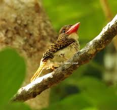 Wendy Nature Guide Langkawi Birdwatching Recent Highlights
