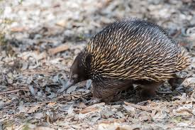 echidna puggle full grown. Plain Grown And Echidna Puggle Full Grown