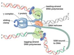 Dna Replication Definition Dna Replication Initiation Elongation And Termination Lecture 5