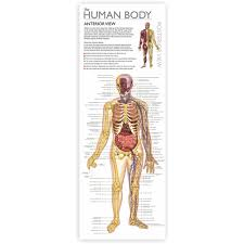 Human Skeleton Wall Chart Tin Set Discover The Human Body Wonders Of Learning