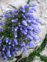 Campanula zoysii | Flora | Flowers, Blue flowers, Beautiful flowers
