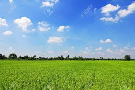 green grass blue sky. Delighful Green Rice Field Green Grass Blue Sky Cloud Cloudy Landscape Background Stock  Photo  16419748 And Green Grass Blue Sky N