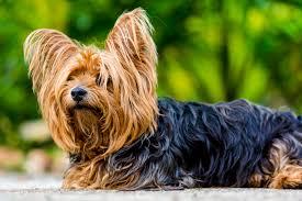 silky dog. dog fur mammal vertebrate breed terrier small yorkshire australian silky like