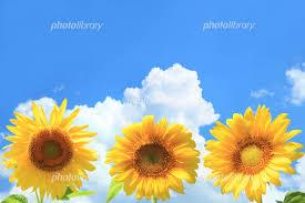 ひまわりと夏空 写真素材 2456034 フォトライブラリー Photolibrary