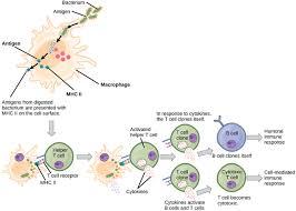 Humoral Immunity Flow Chart Adaptive Immune Response Boundless Biology