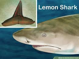 How To Identify Shark Teeth 15 Steps With Pictures Wikihow