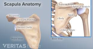 Each hand and each foot consists of five short bones, called metacarpals in the hands and metatarsals in the feet, that connect to the 14 phalanges that make up the fingers or toes (two in each thumb and toe, and three each in. A Broken Shoulder Scapula Fracture