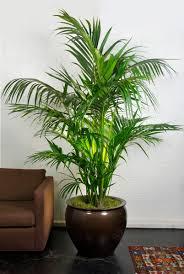Houstons online indoor plant pot store  Large Kentia Palm