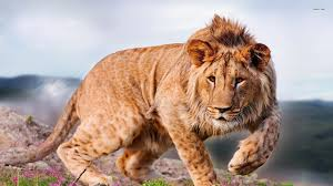 african animals wallpaper high resolution. Contemporary Resolution Lion Awesome HD Wallpapers Images Pictures In High Resolution  Intended African Animals Wallpaper P