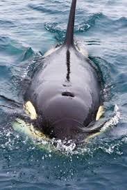 best images about the sea and its creatures 17 best images about the sea and its creatures beluga whale dolphins and great white shark