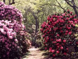 annual rhododendron festival at heritage museums and gardens this weekend