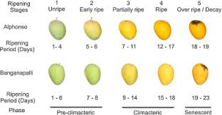 Scientific Classification Of Ripening Period And Development