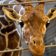 Image of: Elephant The Irish Times Dublin Zoo saddened At Decision To Put Down Giraffe