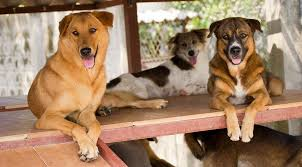 animal shelter dogs for adoption. Contemporary Shelter At The Soi Dog Foundation Shelter Hundreds Of Dogs Wait In Anticipation  Loving Homes Many Have Been Rescued From Suffering On Streets Or As  And Animal Shelter Dogs For Adoption I