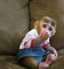 Scimmie cappuccino ? ANIMALI Maggio ?   Clasf