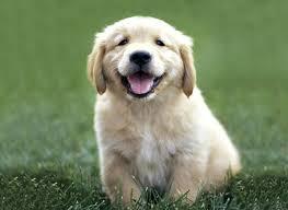 Golden Retriever Puppy Feeding Chart Food Chart For Golden Retriever Golden Retriever