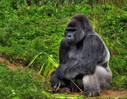 live jungle animals. Interesting Live African Gorilla Intended Live Jungle Animals L