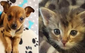 kittens and puppies hugging. Beautiful And Chipandadele2 In Kittens And Puppies Hugging K