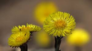 early spring wallpaper hd. Simple Early Coloneljohnbritt Coltsfoot Early Spring Wildflower HD Desktop  Wallpaper   By With Hd