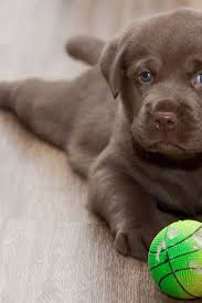 lab puppy wallpapers. Simple Puppy Wallpaper Resolutions To Lab Puppy Wallpapers B