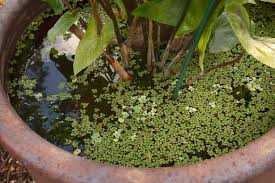 no space for a pond in your yard here s how to make a small water garden in a pot miami herald
