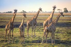 Image of: Pictures Shutterstock250785079 Discover Magazine Blogs How Giraffe Necks Stretched To New Heights Dbrief