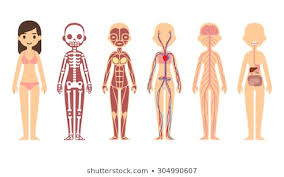 Human Body Systems Photos 132 513 Human Body Stock Image