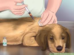 how to spot rabies in a dog steps pictures wikihow image titled spot rabies in a dog step 10