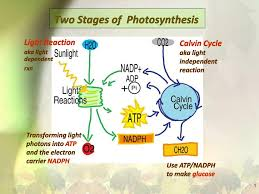 Light Cycle Photosynthesis Ppt Two Stages Of Photosynthesis Powerpoint Presentation