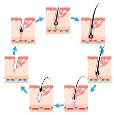 hair cycles how it grows and why it