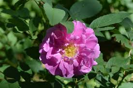 grow rosa rugosa roses for fragrance medicine and rose hips even in zone 3